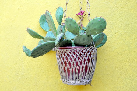 hanged: picture of a cactus in a pot hanged on a yellow painted wall