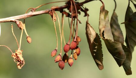 decease: picture of a dry ill sour cherry on tree