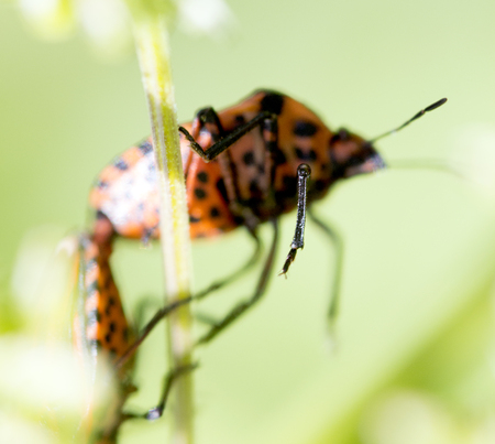 graphosoma: Leg of a Graphosoma lineatum - black and red striped bug sits on a plant