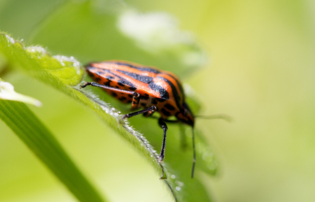 graphosoma: Graphosoma lineatum - black and red striped bug sits on a plant