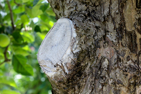 sucker: picture of a protected apple tree wound after pruning