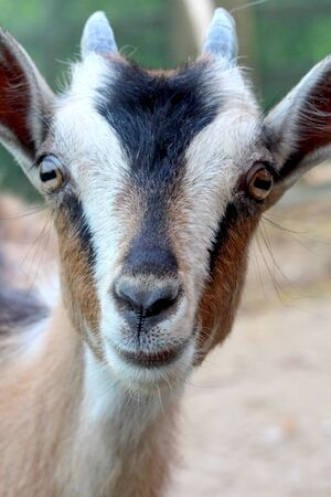 baby goat: Picture of a Cute baby goat