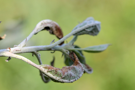 powdery: picture of an apple leaves infected and damaged by fungus disease powdery mildew