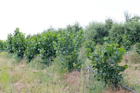 albero nocciola: Immagine di una piantagione di albero di nocciola.