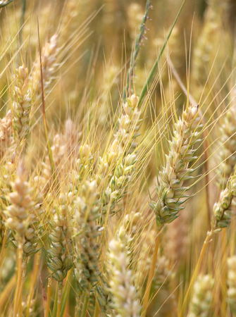 vanish: Picture of a Wheat field in june Stock Photo