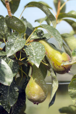 unripe: insecticide sprayed unripe pears on the tree
