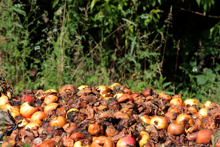 rancid: icture of a Rotten apples.organic pollution concept