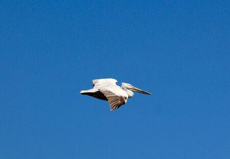 dalmatian: Picture of a Dalmatian Pelican,Pelecanus crispus in flight. Stock Photo