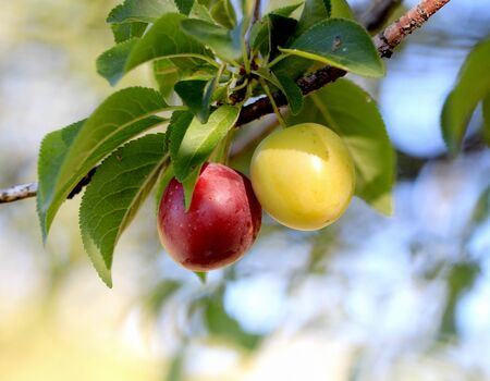 ripe wild plums in summer morning,picture of a
