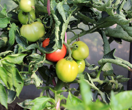botanical farms: picture of a tomatoes on the branch with blurred green background Stock Photo