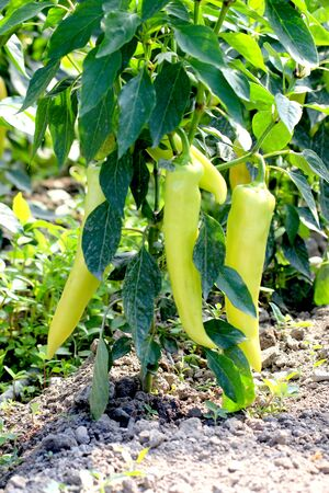 bush pepper: Green paprika in the vegetable garden,