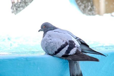 taking bath: City pigeon taking bath in fountain. summer concept Stock Photo