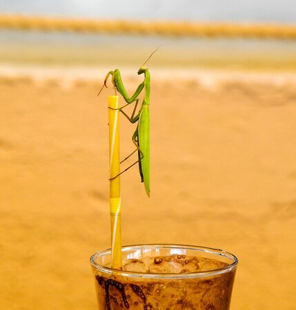green praying mantis on a drinking straw on coffee cup. Mantis religiosa Stock Photo