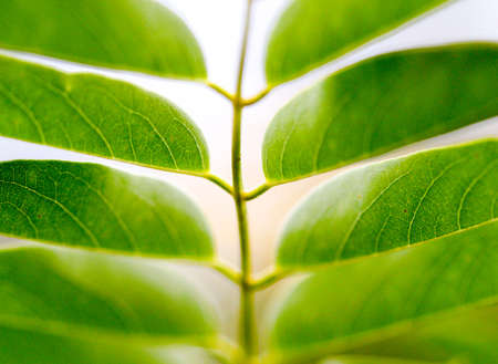 venation: picture of a Green Leaves.Nature concept