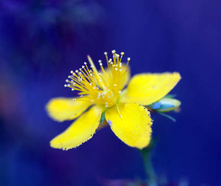 picture of a Hypericum flowers (Hypericum perforatum or St Johns wort) on the meadow , blue background