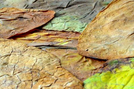 hojas secas: foto de una hoja seca de cerca el tabaco Foto de archivo