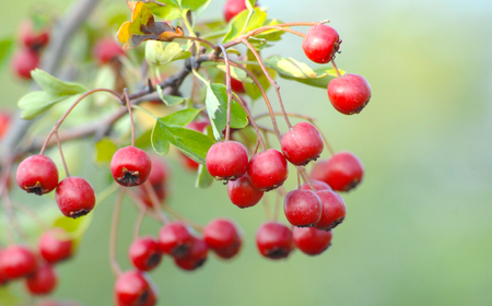 picture of a ripe hawthorn in autumn. Close up