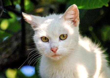 whiskar: Kitten ,white