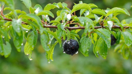 Fruit tree in orchard after rain, ripe plums hanging on the branches Stock Photo