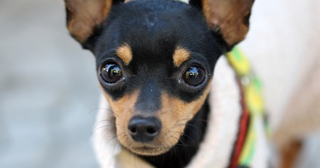 toyterrier: picture of a Close up Brown black doggy with big eyes Stock Photo