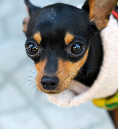 squint: picture of a Close up Brown black doggy with big eyes Stock Photo