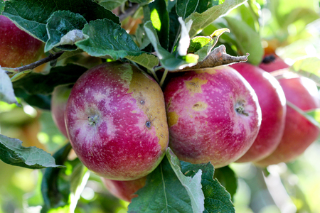 ilness: picture of a Ripe Apples in Orchard ready for harvesting,Morning shot