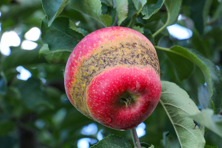 Apple Orchard ready for harvest. Morning shot of an apple with ring caused by frost during blooming Stock Photo