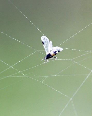 picture of a insect catched on spider web as prey