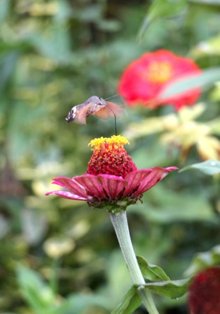 sphingidae: picture of a Sphingidae, known as bee Hawk-moth, enjoying the nectar of a gerbera. Hummingbird moth. Calibri moth. Stock Photo