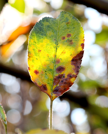ilness: picture of a Close-up of apple autumn leaf on a tree early on the morning