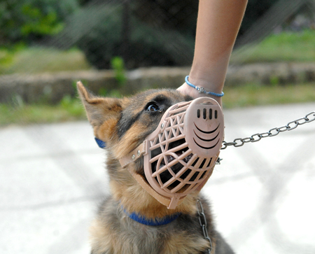 muzzle: Young German Shepherd with plastic muzzle