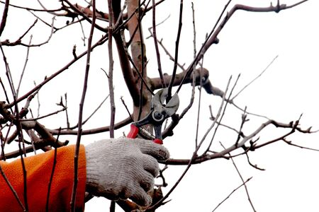 picture of a man pruning apple tree in december