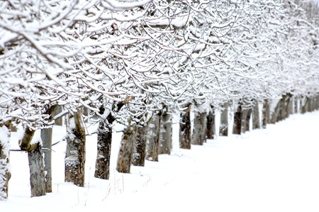 covered in snow: Apple orchard covered with snow in winter,shallow dof Stock Photo