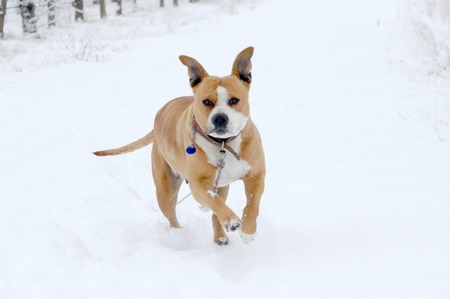 householder: image American Staffordshire Terrier in a snow,winter theme Stock Photo