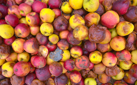 Rotten apple, many apple Stock Photo