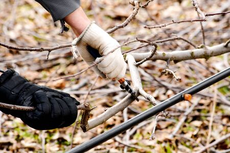 image if a pruning apple tree in an orchard in winter