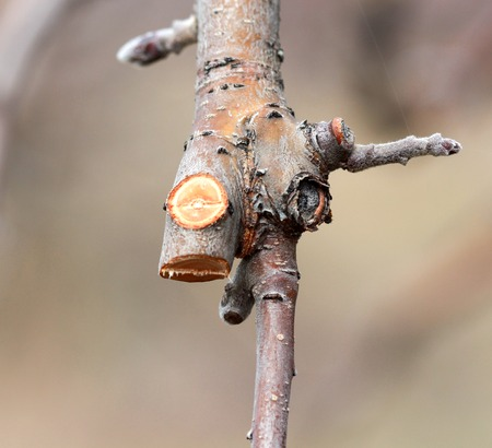 image of a Pruned apple twig and bud in march