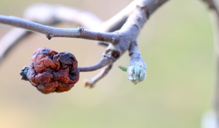 image of a rotten apple and apple bud just before blossoming.