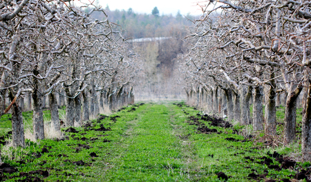 image of a natural fertilizing an apple orchard in spring