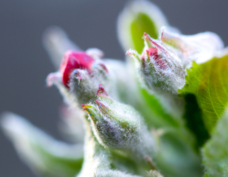 Beautiful begining of an apple blossom ,macro picture of a Stock Photo