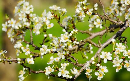 crab apple tree: blossoming tree image of spring season,image of Stock Photo