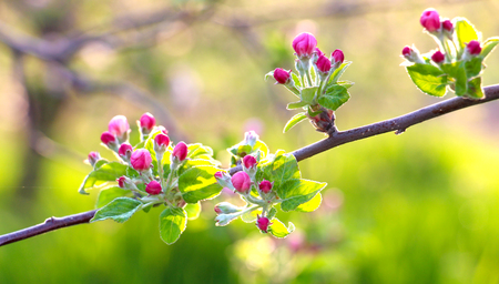 image of a fragile , beautiful blossom of an apple tree.morning shot