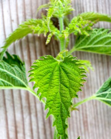 Stinging nettle isolated on wood background,image of a