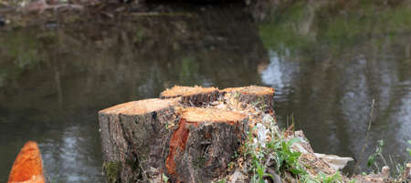 deforestacion: Cut tree in the forest, very shallow depth of field. Foto de archivo