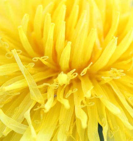 Dandelion (Taraxacum Officinale) . Yellow flower .