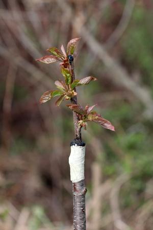 Gedoofde fruitboom in een boomgaard, foto van a