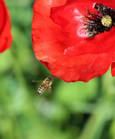 nectar: bee on a poppy flower Stock Photo