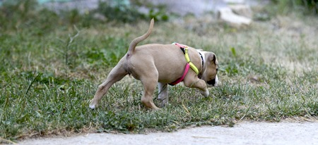 american staffordshire terrier puppy outdoors on a grass,image of a Stock Photo