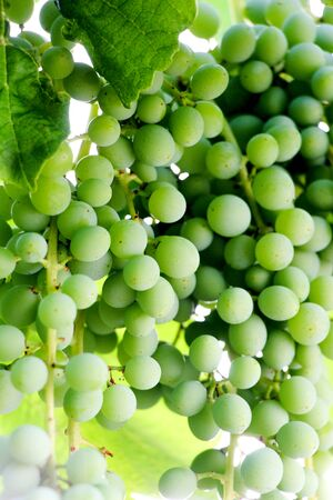 Green grapes growing on the grape vines,image Stock Photo