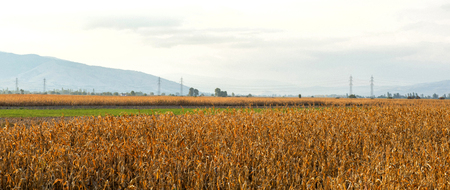corn field after harvest, image of a